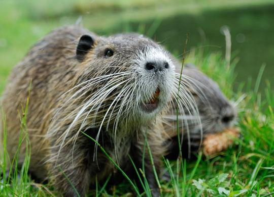 Beaver-800px
