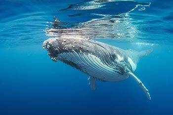 Humpback whale on Vava'u, Tonga